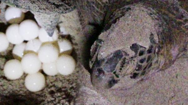 보는 순간 매료되는 거북이의 탄생 '정·법 카메라에 포착!'