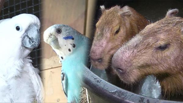 세계에서 가장 큰 쥐? 말썽꾸러기 '카피바라 부부'