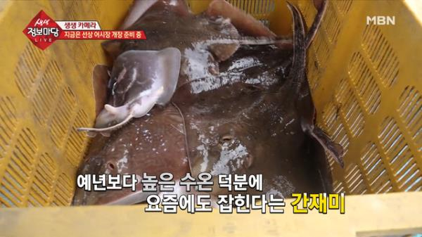 지금 잡히는 물고기의 정체는 바로 '간재미'