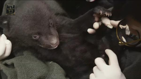 동면을 틈타 곰들의 건강을 확인하는 수의사들