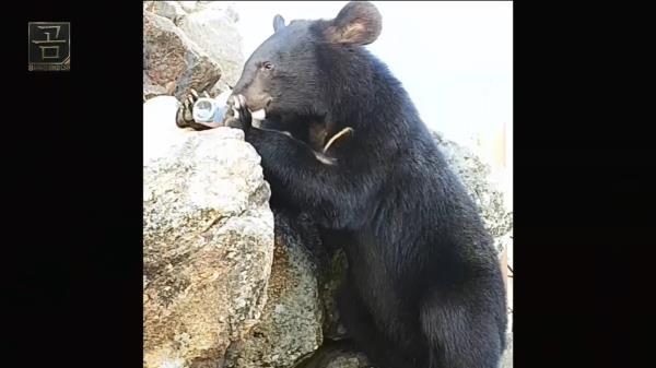 양봉장과 농장을 침입하는 말썽쟁이 곰들