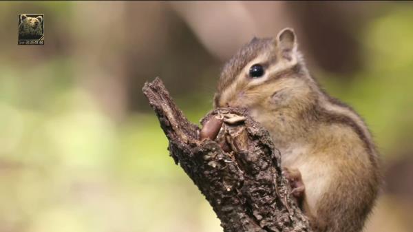 다람쥐가 숨겨둔 도토리를 귀신같이 찾아내는 반달곰