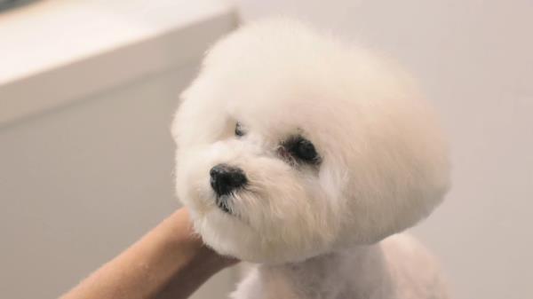 아기 강아지의 반전 배냇미용 /doggrooming[개이크오버EP.6]